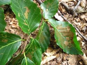 ウエツキブナハムシにより食べられ始めたばかりのブナの葉