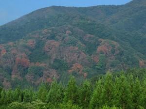 長井葉山山麓のナラ枯れ