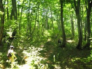 今回はあいにくの天候でしたが、晴れるとまた素晴らしい森の表情です。(2011年)