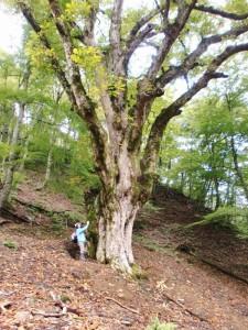 トチノキの巨木。この巨木群は西日本最大級の規模。