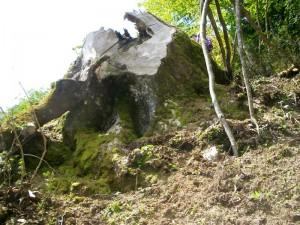 伐採されたあとに残された巨木の切り株