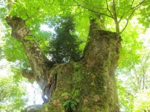 2012栃巨木調査2